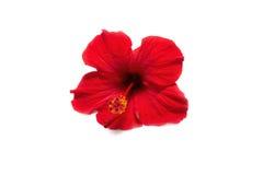 Hibiscus no fundo branco Fotografia de Stock