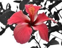 Hibiscus in Noord-Thailand Royalty-vrije Stock Afbeeldingen