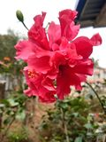 Hibiscus oder rosemallow sch?ne Blume lizenzfreie stockfotografie