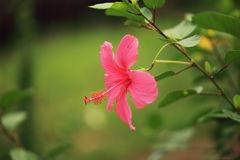Hibiscus Stock Photos