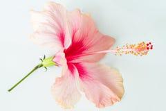 Hibiscus op wit Stock Afbeeldingen
