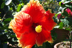 Hibiscus 1 Stock Photography