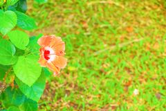 Hibiscus orange flower and leaf green fresh in the garden nature with sunset light soft.  Royalty Free Stock Images
