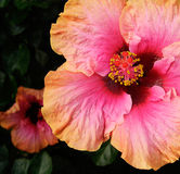Hibiscus 1. Orange and pink petals of a Hibiscus are set against a dark background Royalty Free Stock Images