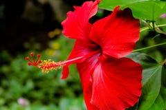 Hibiscus palnt που αυξάνονται στο φυσικό βιότοπό του στοκ φωτογραφίες με δικαίωμα ελεύθερης χρήσης