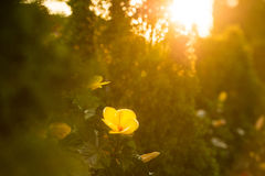 Hibiscus peaking through lush green garden. Tropical Hibiscus flowers blooming in a lush green garden with a beautiful warm summer sunset Stock Photos