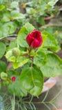 Hibiscus pequeno fotografia de stock