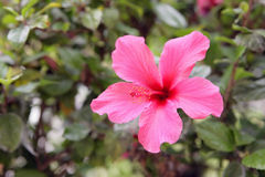 Hibiscus - Pink Stock Images