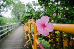 Hibiscus Pink Royalty Free Stock Photography