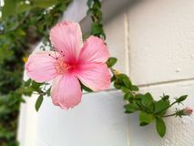 Hibiscus. Pink Hibiscus flower Royalty Free Stock Images