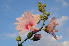 Hibiscus pink flower on blue sky. Twig with flowers and buds of hibiscus outdoor plant Royalty Free Stock Photo