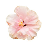 Hibiscus pink flower isolated on white background. Stock Image