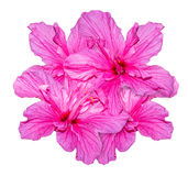 Hibiscus pink flower isolated on white background.. Hibiscus pink flower isolated on white background. Object with clipping path Royalty Free Stock Photo