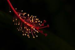 Hibiscus pollen Stock Photo