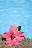 Hibiscus by Pool Royalty Free Stock Images