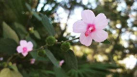 Hibiscus-Rebe Lizenzfreie Stockfotografie