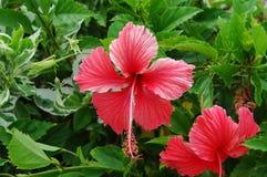 Hibiscus red Stock Photos
