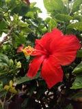 Hibiscus Royalty Free Stock Photos