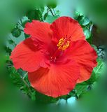Hibiscus Red Flower beautiful close-up. Hibiscus close-up revealing its immense beauty of this exotic flower easily grown indoor or outdoor where it can boost stock images