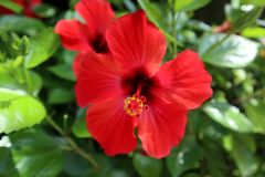 Hibiscus red flower in the foreground royalty free stock images