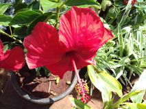 Hibiscus red flower royalty free stock photo