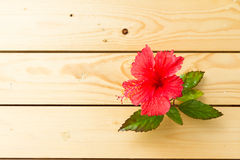 Hibiscus red flower Stock Images