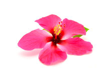 Hibiscus. Red hibiscus flower isolated on white background Royalty Free Stock Photography