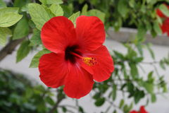 Hibiscus. Red hibiscus flower. It's a exotic flower Royalty Free Stock Photos