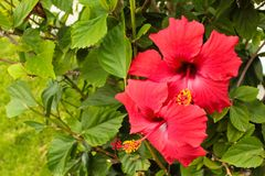 Hibiscus red flower Stock Photo