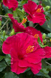Hibiscus red flowers Royalty Free Stock Photos