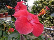 Hibiscus red flowers in the garden stock photo