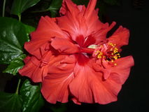 Hibiscus. Red hibiscus grown with care and love at home on a window sill Royalty Free Stock Image