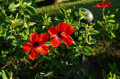 Hibiscus red stock images