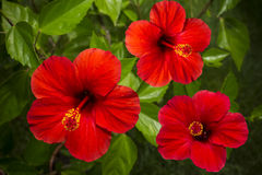 Hibiscus red Royalty Free Stock Images