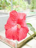 National flower. Hibiscus in red Stock Photography