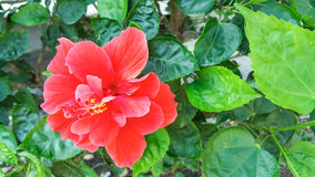 Hibiscus Stock Photography