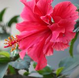 Hibiscus Red with pollens stock photography