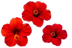 Hibiscus red Stock Photo