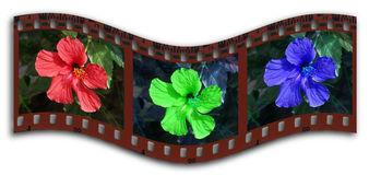 Hibiscus RGB filmstrip. Wavy filmstrip in RGB colors of a hibiscus flower stock illustration