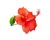Hibiscus Rosa Royalty Free Stock Photo