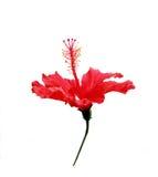 Hibiscus Rosa Stock Image