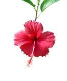 Hibiscus Rosa Stock Images