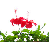 Hibiscus Rosa Stock Photo