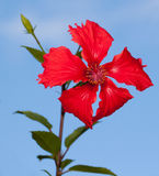 Hibiscus rosa Imagens de Stock Royalty Free
