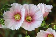 hibiscus rosa Стоковые Фото