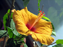 Hibiscus rosa-chinensis Imagens de Stock Royalty Free
