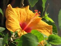 Hibiscus rosa-chinensis Imagem de Stock Royalty Free