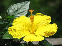 Hibiscus rosa-chinensis Stock Photos