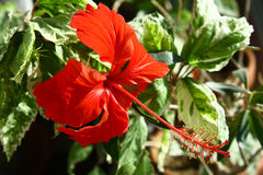 Hibiscus rosa-chinensis Stock Images