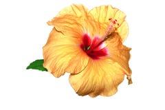 Hibiscus rosa chinensis Royalty Free Stock Image